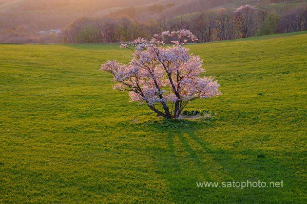 北海道 室蘭の崎守町の一本桜