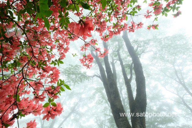 埼玉 美の山のヤマツツジ