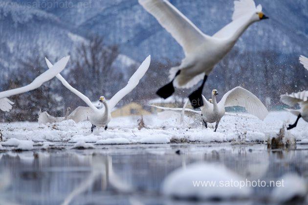 長野 安曇野の白鳥